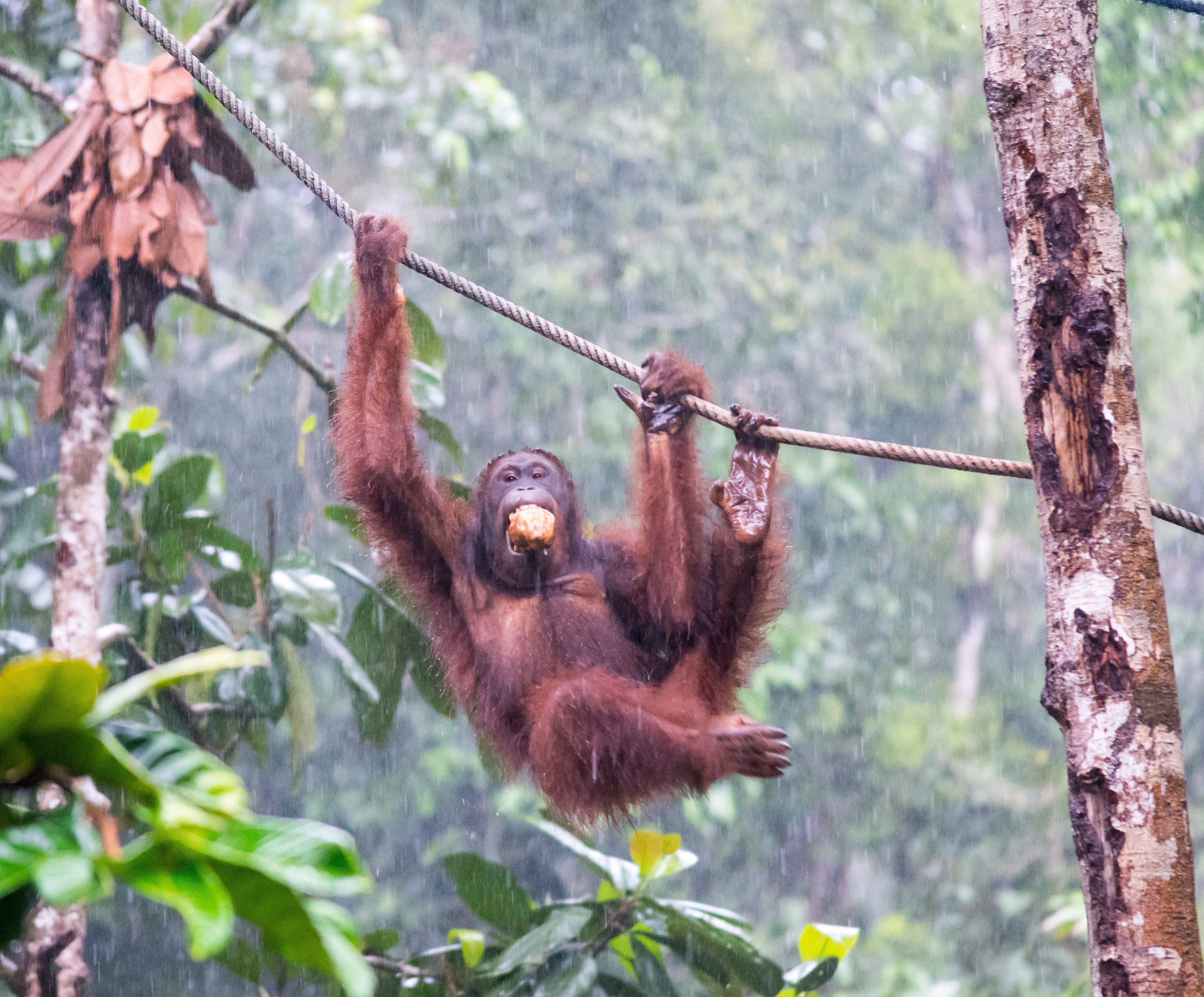 Orangutan Semenggoh