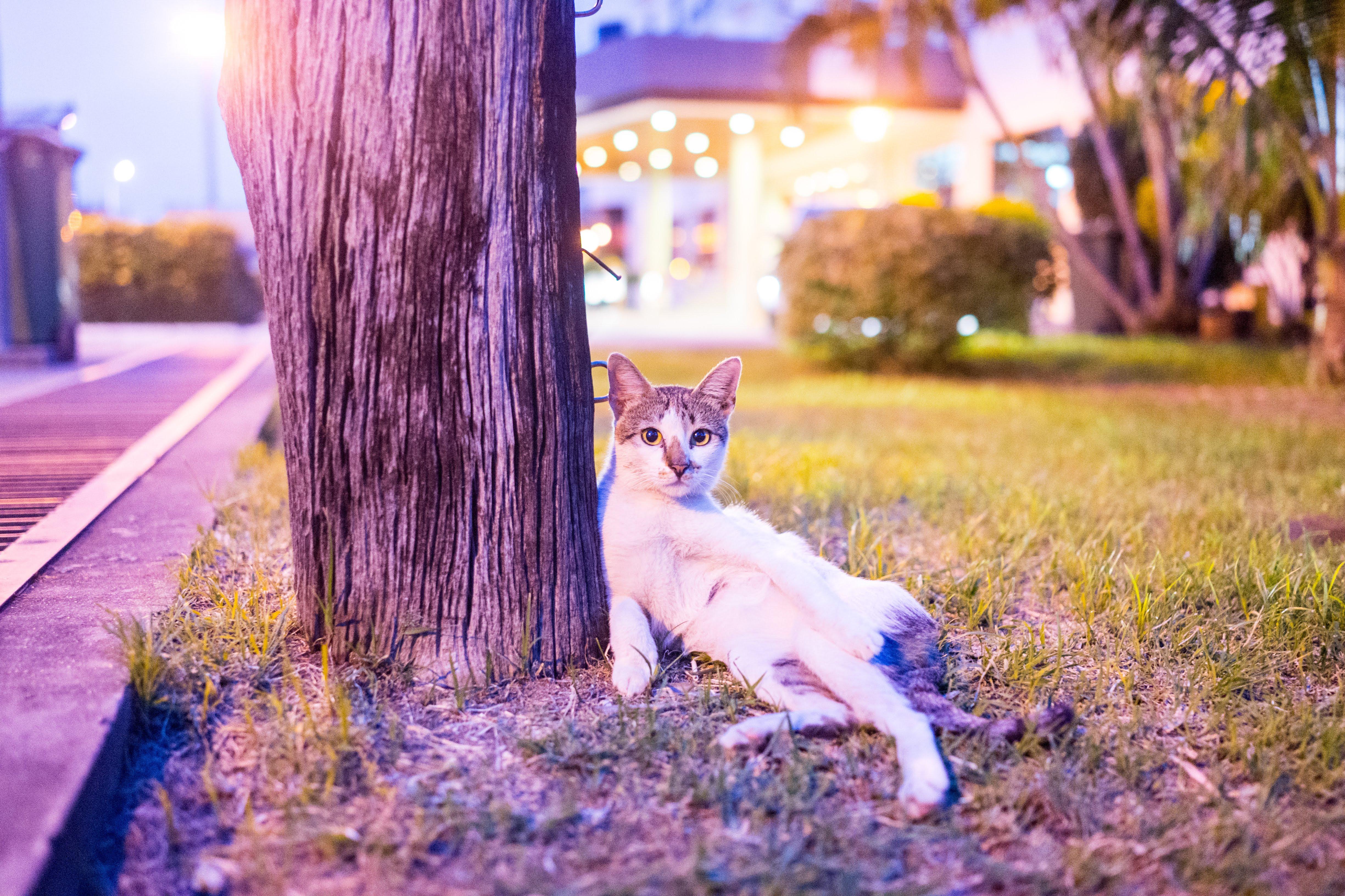 Semporna Cat