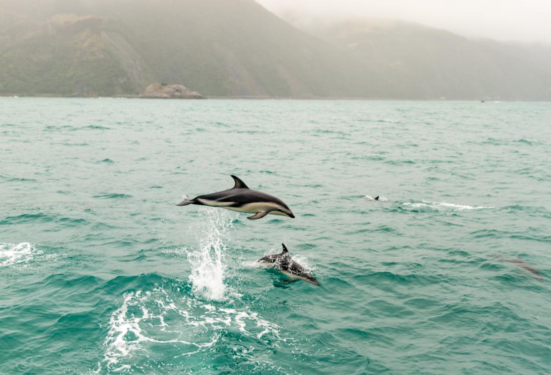 Dolphins Kaikoura