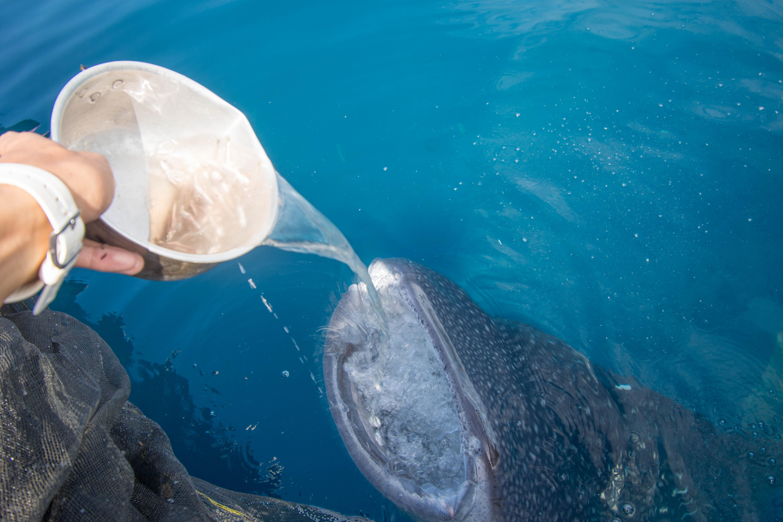whale shark nabire bagan