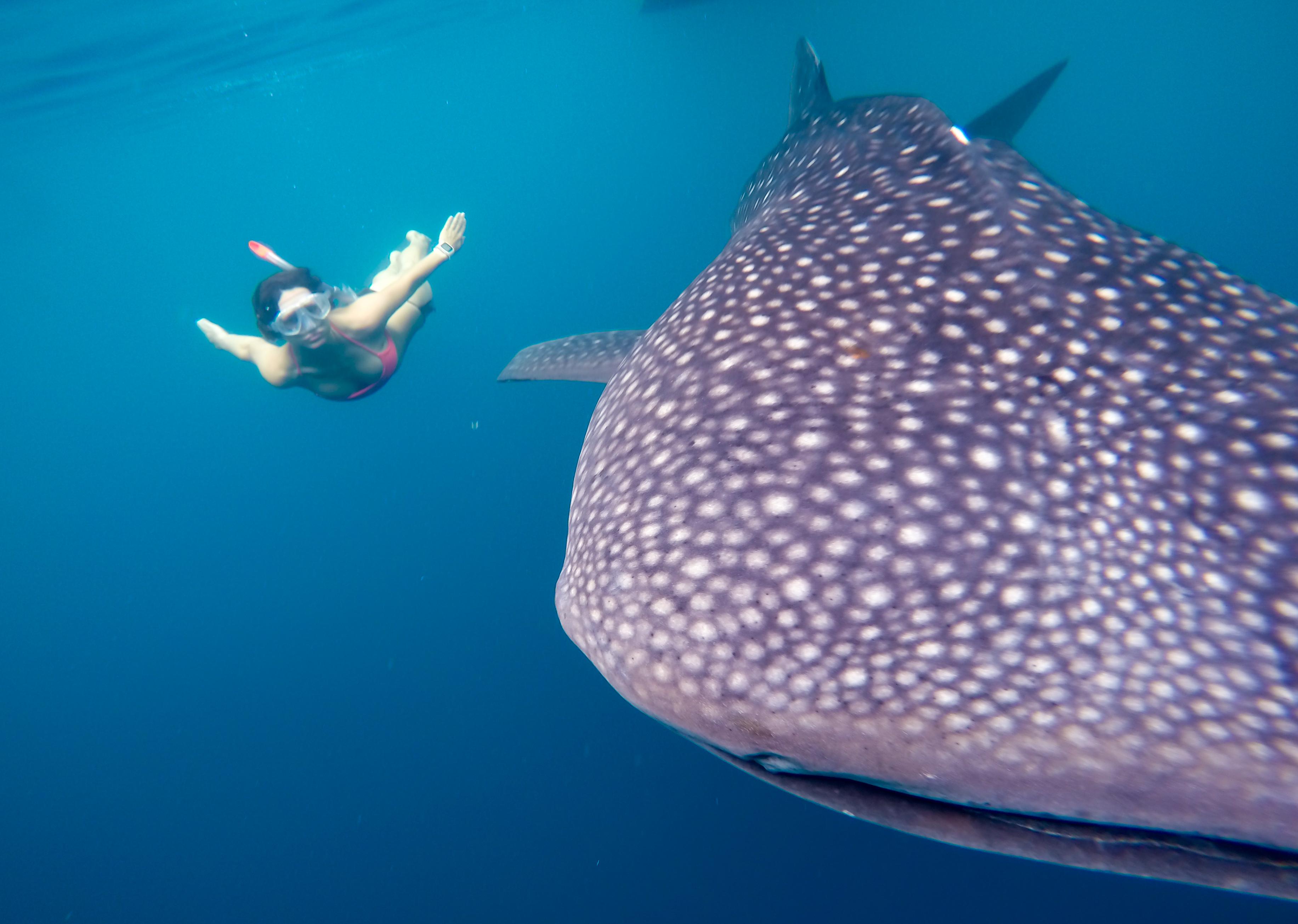 swim whale sharks nabire