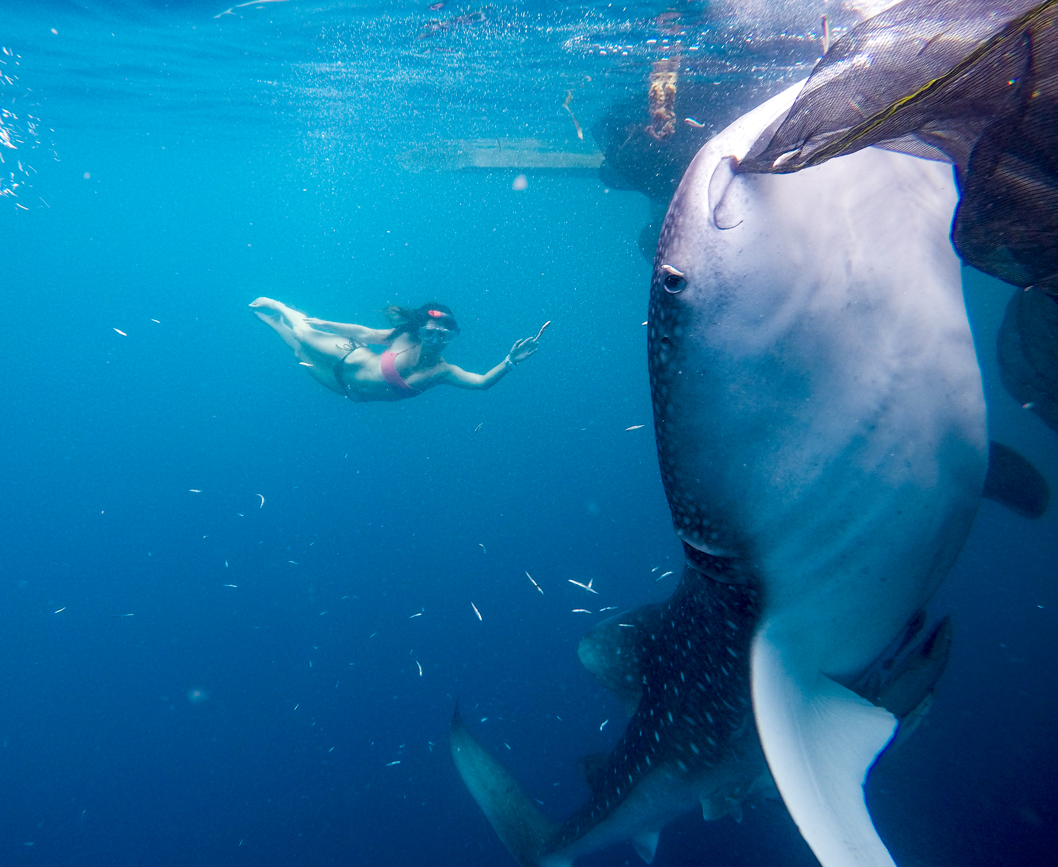 Swimming Whale Sharks Nabire Indonesia